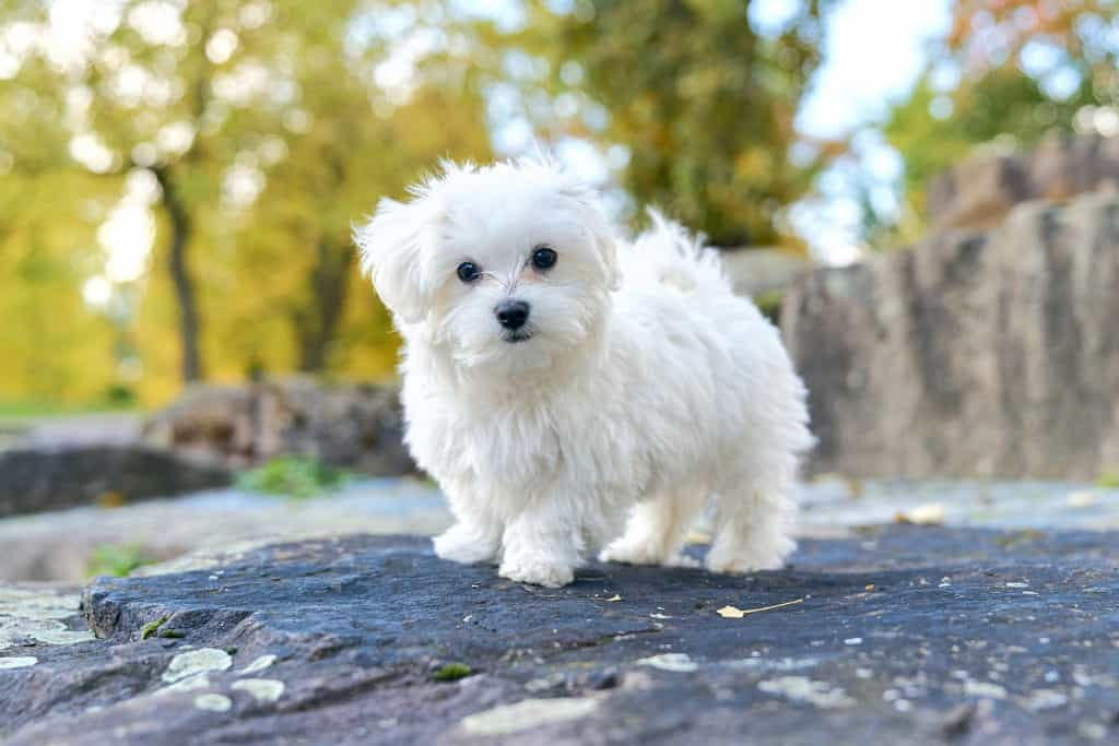 Are All Maltese White Can They Be Black Or Brown